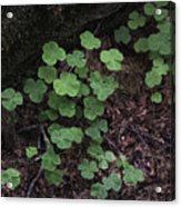 Hoh Rain Forest 3393 Acrylic Print