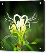 Honeysuckle Love Acrylic Print