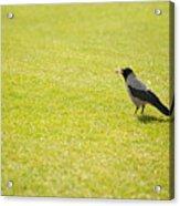 Hooded Crow Bird Gathering Hay Acrylic Print