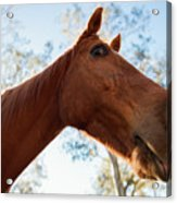 Horse In The Paddock Acrylic Print
