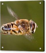 Hoverfly In Flight Acrylic Print