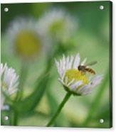 Hoverfly Acrylic Print