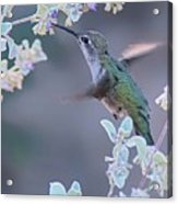 Hummingbird 0091 Acrylic Print