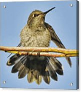 Hummingbird On A Branch Acrylic Print