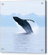 Humpback Whale Breaching Acrylic Print