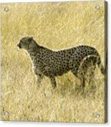 Hunting Cheetah Acrylic Print
