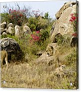 Hunting Lionesses Acrylic Print