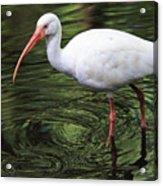 Ibis In The Marsh Acrylic Print