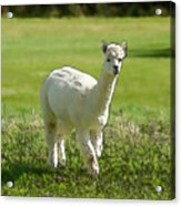 Illustration Of White Alpaca Like Llama Walking In Field Unique And Different Acrylic Print