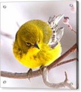 Img_0001 - Pine Warbler Acrylic Print