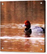 Img_0001 - Redhead Acrylic Print