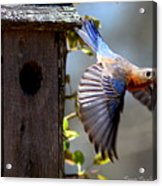 Img_1414-003 - Eastern Bluebird Acrylic Print