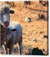 Impoverished Sheep Acrylic Print