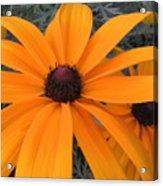 Indian Summer Rudebeckia 2 Acrylic Print