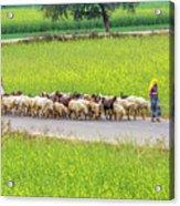 Indian Villagers Herding Sheep. Acrylic Print