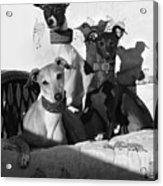 Italian Greyhounds In Black And White Acrylic Print