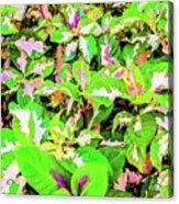 Jamaican Croton Acrylic Print