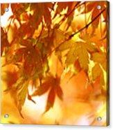Japanese Maple In Fall Acrylic Print