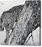 Jaquar In Tree Acrylic Print