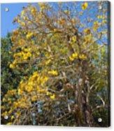 Jerusalem Thorn Tree Acrylic Print