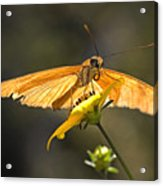 Julia Heliconian Butterfly  Acrylic Print