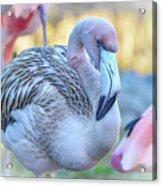 Juvenile Flamingo Acrylic Print