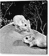 Kangaroo Rat Acrylic Print