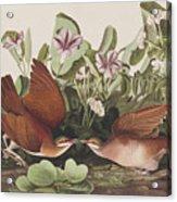 Key West Dove Acrylic Print