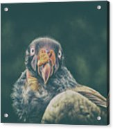 King Vulture Acrylic Print