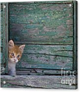 Kitten Peeking Out Acrylic Print