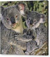 Koala Phascolarctos Cinereus Mother Acrylic Print by Gerry Ellis
