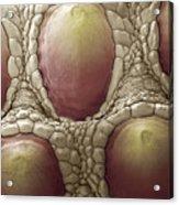 Komodo Dragon Skin, Sem Acrylic Print by Steve Gschmeissner