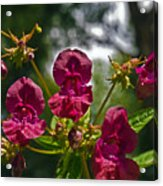 Lady Slipper Orchid Dan146 Acrylic Print