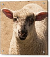 Lamb Looking Cute. Acrylic Print
