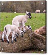 Lambs Acrylic Print
