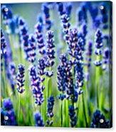 Lavander Flowers In Lavender Field Acrylic Print