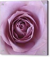 Lavender Of Rose Acrylic Print