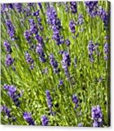 Lavender Scent Acrylic Print