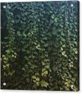 Leaf Of The Ivy   Acrylic Print