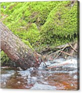 Leaning Tree Trunk By A Stream Acrylic Print