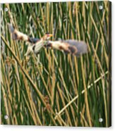 Least Bittern Flight Acrylic Print