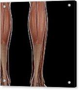 Leg Musculature Acrylic Print