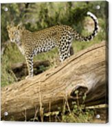 Leopard In The Forest Acrylic Print