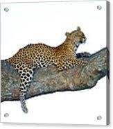 Leopard Panthera Pardus Sitting Acrylic Print
