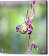 Lesser Goldfinch 4052 Acrylic Print