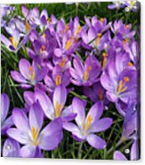 Let It Spring Acrylic Print