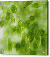 Light Micrograph Of A Group Of Euglena Gracilis Acrylic Print by Sinclair Stammers