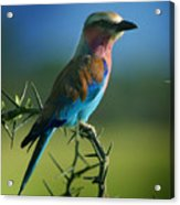 Lilac Breasted Roller Acrylic Print by Joseph G Holland