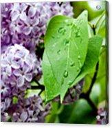 Lilac Drops Acrylic Print