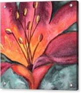 Lily Blaze Acrylic Print